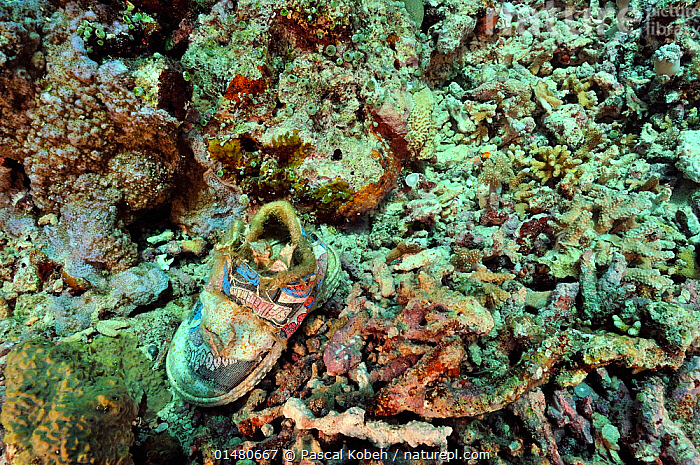 Old shoe under water covered in algae, Manado, Indonesia. Sulawesi Sea., ASIA,SOUTH EAST ASIA,INDONESIA,TROPICAL,OCEAN,PACIFIC OCEAN,ENVIRONMENT,ENVIRONMENTAL ISSUES,ENVIRONMENTAL DAMAGE,MARINE,UNDERWATER,SALTWATER,BIODIVERSITY HOTSPOTS,BIODIVERSITY HOTSPOT,TROPICS,NATURE TAKING OVER,ALGAE,MANADO,CELEBES SEA,SULAWESI SEA,OCEANS,Plants,SOUTH-EAST-ASIA,Nature reclamation, Pascal Kobeh