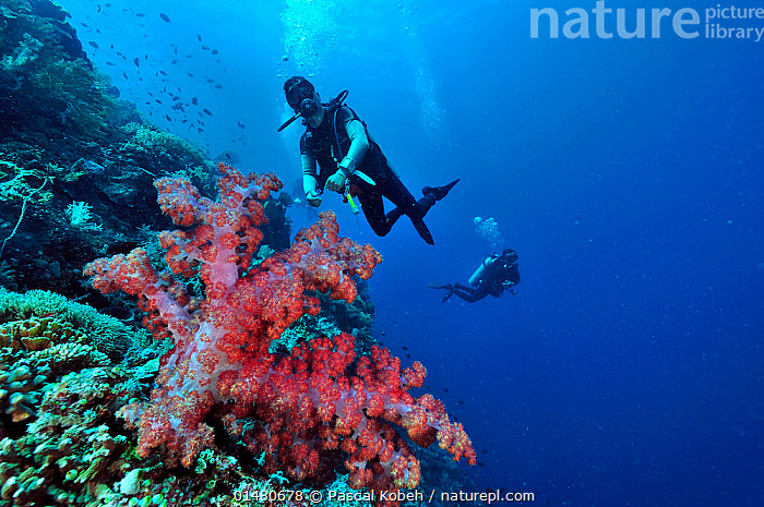 Divers swimming over coral drop off with soft coral (Dendronephthya) on foreground, Manado, Indonesia. Sulawesi Sea. May 2010., ANIMALIA,ANIMAL,WILDLIFE,CNIDARIA,CNIDARIAN,COELENTRERATA,ANTHOZOA,ANTHROZOAN,ALCYONACEA,SOFT CORAL,NEPHTHEIDAE,DENDRONEPHTHYA,DIVING,UNDERWATER DIVING,SCUBA DIVING,PEOPLE,ASIA,SOUTH EAST ASIA,INDONESIA,TROPICAL,OCEAN,PACIFIC OCEAN,LANDSCAPE,LANDSCAPES,MARINE,UNDERWATER,HABITAT,SALTWATER,BIODIVERSITY HOTSPOTS,BIODIVERSITY HOTSPOT,TROPICS,MANADO,CELEBES SEA,SULAWESI SEA,ANIMALS,CNIDARIANS,ANTHROZOANS,SOFT CORALS,OCEANS,ANIMAL,CNIDARIAN,ANTHROZOAN,SOFT CORAL,SOUTH-EAST-ASIA, Pascal Kobeh