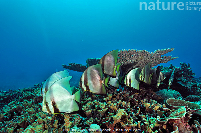 Small school of Shaded batfish (Platax pinnatus) on a coral reef, Manado, Indonesia. Sulawesi Sea., Animalia,Animal,Wildlife,Vertebrate,Chordate,Actinopterygii,Ray finned fish,Osteichthyes,Bony fish,Fish,Perciformes,Percomorphi,Acanthopteri,Ephippidae,Spadefish,Platax,Batfishes,Batfish,Platax pinnatus,Pinnate spadefish,Dusky batfish,Redfaced batfish,Chaetodon pinnatus,School,Group,Asia,South East Asia,Indonesia,Tropical,Reef,Reefs,Coral Reef,Coral Reefs,Ocean,Pacific Ocean,Landscape,Landscapes,Marine,Underwater,Habitat,Saltwater,Biodiversity hotspots,Biodiversity hotspot,Tropics,Manado,Celebes Sea,Sulawesi Sea,Animals,Vertebrates,Chordates,Ray finned fishes,Bony fishes,Fishes,Spadefishes,Groups,Oceans,Animal,Vertebrate,Ray finned fish,Percomorphi,Spadefish,Batfishes,Pinnate spadefish,SOUTH-EAST-ASIA, Pascal Kobeh