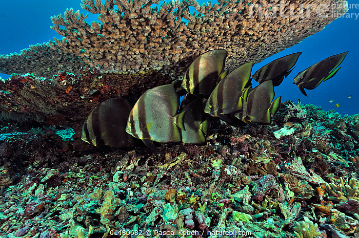 Small school of Shaded batfish (Platax pinnatus) resting under Table coral (Acropora) Manado, Indonesia. Sulawesi Sea., ANIMALIA,ANIMAL,WILDLIFE,CNIDARIA,CNIDARIAN,COELENTRERATA,ANTHOZOA,ANTHROZOAN,SCLERACTINIA,HARD CORAL,ACROPORIDAE,CORAL,ACROPORA,ACROPORA CORAL,VERTEBRATE,CHORDATE,ACTINOPTERYGII,RAY FINNED FISH,OSTEICHTHYES,BONY FISH,FISH,PERCIFORMES,PERCOMORPHI,ACANTHOPTERI,EPHIPPIDAE,SPADEFISH,PLATAX,BATFISHES,BATFISH,PLATAX PINNATUS,PINNATE SPADEFISH,DUSKY BATFISH,REDFACED BATFISH,CHAETODON PINNATUS,SCHOOL,GROUP,ASIA,SOUTH EAST ASIA,INDONESIA,TROPICAL,OCEAN,PACIFIC OCEAN,LANDSCAPE,LANDSCAPES,MARINE,UNDERWATER,HABITAT,SALTWATER,BIODIVERSITY HOTSPOTS,BIODIVERSITY HOTSPOT,TROPICS,MANADO,CELEBES SEA,SULAWESI SEA,ANIMALS,CNIDARIANS,ANTHROZOANS,HARD CORALS,VERTEBRATES,CHORDATES,RAY FINNED FISHES,BONY FISHES,FISHES,SPADEFISHES,GROUPS,OCEANS,ANIMAL,CNIDARIAN,ANTHROZOAN,HARD CORAL,CORAL,ACROPORA CORAL,VERTEBRATE,RAY FINNED FISH,PERCOMORPHI,SPADEFISH,BATFISHES,PINNATE SPADEFISH,SOUTH-EAST-ASIA, Pascal Kobeh