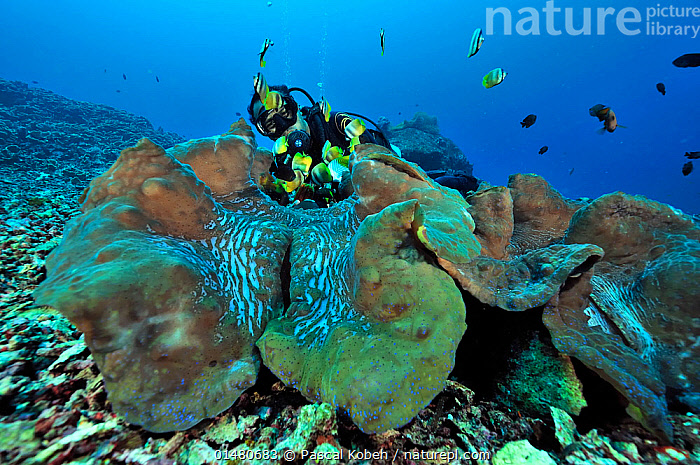 Diver behind Giant clams (Tridacna gigas) Manado, Indonesia. Sulawesi Sea. May 2010., ANIMALIA,ANIMAL,WILDLIFE,MOLLUSCA,MOLLUSC,BIVALVIA,BIVALVE,VENEROIDA,VERNEROID,CARDIIDAE,TRIDACNA,GIANT CLAM,TRIDACNA GIGAS,CHAMA GIGANTEA,CHAMA GIGAS,DIVING,UNDERWATER DIVING,SCUBA DIVING,PEOPLE,SCALE,PROPORTION,SIZE,GIANT,HUGE,MASSIVE,ASIA,SOUTH EAST ASIA,INDONESIA,TROPICAL,OCEAN,PACIFIC OCEAN,LANDSCAPE,LANDSCAPES,MARINE,UNDERWATER,HABITAT,SALTWATER,BIODIVERSITY HOTSPOTS,BIODIVERSITY HOTSPOT,TROPICS,MANADO,CELEBES SEA,SULAWESI SEA,ANIMALS,MOLLUSCS,BIVALVES,VENEROIDS,GIANT CLAMS,OCEANS,ANIMAL,MOLLUSC,BIVALVE,VERNEROID,GIANT CLAM,SOUTH-EAST-ASIA,Invertebrates, Pascal Kobeh
