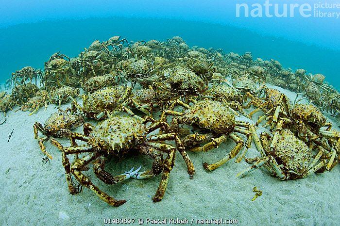 Aggregation of thousands of Spider crabs (Leptomithrax gaimardii) for moulting, South Australia Basin, Australia. Pacific Ocean., ANIMALIA,ANIMAL,WILDLIFE,CRUSTRACEA,CRUSTACEAN,MALACOSTRACA,DECAPODA,DECAPOD,MAJIDAE,TRUE CRAB,BIZARRE,MANY,GROUP,LARGE GROUP,AUSTRALASIA,AUSTRALIA,SOUTH AUSTRALIA,OCEAN,PACIFIC OCEAN,MARINE,UNDERWATER,ANIMAL BEHAVIOUR,TEMPERATE,ARTHROPOD,ARTHROPODS,BEHAVIOUR,SALTWATER,MULTITUDE,MASS,MOULTS,MOULT,MOLTING,INVERTEBRATE,SAFETY IN NUMBERS,LEPTOMITHRAX,LEPTOMITHRAX GAIMARDII,SPIDER CRAB,ANIMALS,DECAPODS,TRUE CRABS,GROUPS,OCEANS,CRUSTACEANS,MULTITUDES,MASSES,INVERTEBRATES,ANIMAL,CRUSTACEAN,DECAPOD,TRUE CRAB,SPIDER CRAB, Pascal Kobeh
