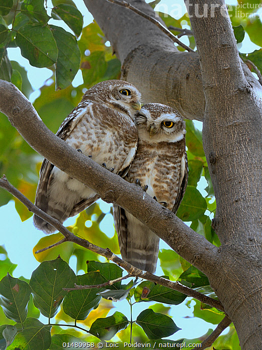 Spotted owlet (Athene brama) pair on a branch, Bharatpur / Keoladeo Ghana National Park, India.  ,  ANIMAL,VERTEBRATE,BIRDS,OWL,TRUE OWL,SPOTTED OWLET,ANIMALIA,ANIMAL,WILDLIFE,VERTEBRATE,CHORDATE,AVES,BIRDS,STRIGIFORMES,OWL,BIRD OF PREY,STRIGIDAE,TRUE OWL,TYPICAL OWL,STRIGINAE,ATHENE,ATHENE BRAMA,SPOTTED OWLET,SPOTTED LITTLE OWL,COURTING,CUTE,ADORABLE,RELATIONSHIP,RELATIONSHIPS,BONDING,TWO,AFFECTION,ASIA,INDIAN SUBCONTINENT,INDIA,VERTICAL,PLANT,BRANCH,BRANCHES,ANIMAL BEHAVIOUR,MATING BEHAVIOUR,COURTSHIP,BEHAVIOUR,RAJASTHAN,BHARATPUR ,Vertical,,,UNESCO World Heritage Site,  ,  Loic  Poidevin