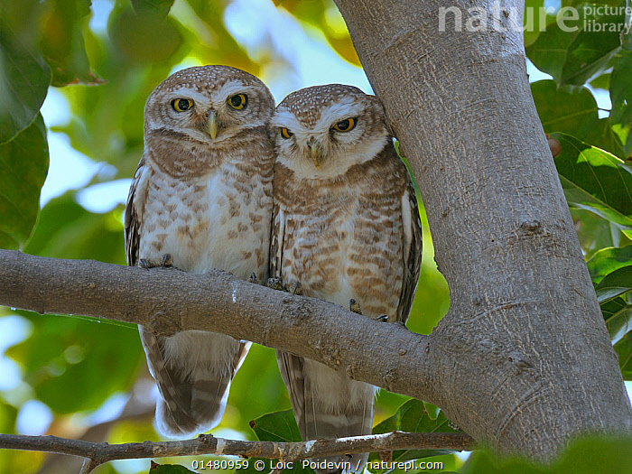 Spotted owlet (Athene brama) pair on a branch, Bharatpur / Keoladeo Ghana National Park, India.  ,  ANIMAL,VERTEBRATE,BIRDS,OWL,TRUE OWL,SPOTTED OWLET,ANIMALIA,ANIMAL,WILDLIFE,VERTEBRATE,CHORDATE,AVES,BIRDS,STRIGIFORMES,OWL,BIRD OF PREY,STRIGIDAE,TRUE OWL,TYPICAL OWL,STRIGINAE,ATHENE,ATHENE BRAMA,SPOTTED OWLET,SPOTTED LITTLE OWL,COURTING,CUTE,ADORABLE,RELATIONSHIP,RELATIONSHIPS,BONDING,TWO,AFFECTION,ASIA,INDIAN SUBCONTINENT,INDIA,PLANT,BRANCH,BRANCHES,ANIMAL BEHAVIOUR,MATING BEHAVIOUR,COURTSHIP,BEHAVIOUR,RAJASTHAN,BHARATPUR,,UNESCO World Heritage Site,  ,  Loic  Poidevin