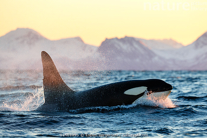 Killer whale / orca (Orcinus orca), large male surfacing, Andfjorden, close to Andoya, Nordland, Norway, January (polar night period)., catalogue7,Animal,Vertebrate,Mammal,Ceteacean,Oceanic dolphin,Killer Whale,Animalia,Animal,Wildlife,Vertebrate,Mammalia,Mammal,Cetacea,Ceteacean,Delphinidae,Oceanic dolphin,Dolphin,Odontoceti,Orcinus,Orcinus orca,Killer Whale,Orca,Orcinus gladiator,Orcinus ater,Orcinus capensis,Splashing,Direction,On The Move,Speed,Black,Nobody,Pattern,Patterned,Patterns,Europe,Northern Europe,North Europe,Nordic Countries,Scandinavia,Norway,Profile,Side View,Male Animal,Fin,Fins,Dorsal Fin,Dorsal Fins,Ocean,Atlantic Ocean,Outdoors,Open Air,Outside,Winter,Day,Marine,Water,Animal Behaviour,Cold Water,Behaviour,Saltwater,Sea,Surfacing,Coldwater,View to land,Moving,Animal marking,Surface,Water spray,Purpose,Nordland,Andfjorden,Marine, Espen Bergersen