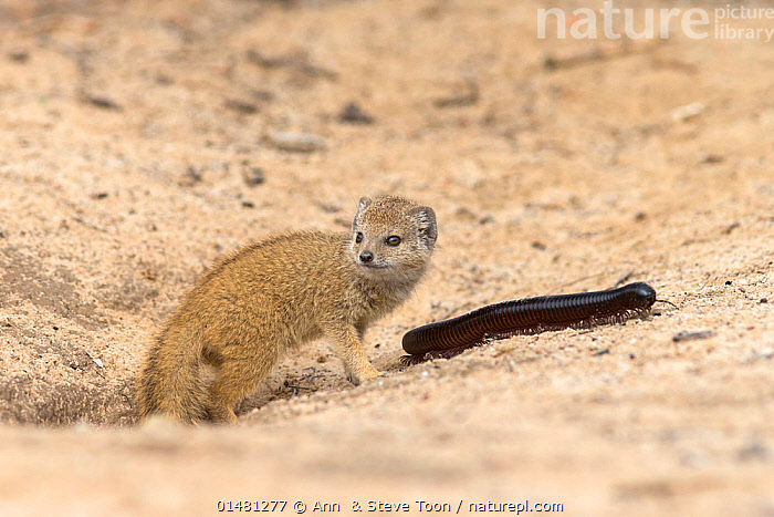 Baby yellow mongoose (Cynictis penicillata) with giant millipedes (Archispirostreptus gigas) by mongoose burrow entrance, Kgalagadi Transfrontier Park, Northern Cape, South Africa, February, ANIMAL,ARTHROPOD,MILLIPEDE,GIANT MILLIPEDE,VERTEBRATE,MAMMAL,CARNIVORE,MONGOOSE,YELLOW MONGOOSES,YELLOW MONGOOSE,ANIMALIA,ANIMAL,WILDLIFE,MYRIAPODA,ARTHROPOD,MYRIAPOD,ARTHROPODA,DIPLOPODA,MILLIPEDE,MYRIOD,DIPLOPOD,SPIROSTREPTIDA,SPIROSTREPTIDAE,ARCHISPIROSTREPTUS,ARCHISPIROSTREPTUS GIGAS,GIANT MILLIPEDE,GRAPHIDOSTREPTUS GIGAS,SPIROSTREPTUS GIGAS,VERTEBRATE,CHORDATE,MAMMALIA,MAMMAL,CARNIVORA,CARNIVORE,HERPESTIDAE,MONGOOSE,CYNICTIS,YELLOW MONGOOSES,CYNICTIS PENICILLATA,YELLOW MONGOOSE,AFRICA,SOUTHERN AFRICA,SOUTH AFRICA,ANIMAL BEHAVIOUR,PREDATION,RESERVE,BEHAVIOUR,PROTECTED AREA,NATIONAL PARK,SCRUBLAND,INVERTEBRATE,SOUTHERN AFRICAN,INTERNATIONAL PARKS,KGALAGADI TRANSFRONTIER PARK,SOUTH AFRICAN,NORTHERN CAPE,PREY,KGALAGADI, Ann  & Steve Toon