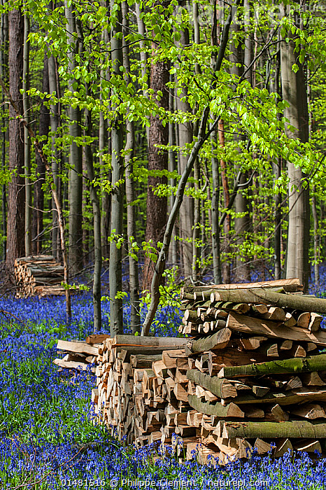 Woodpiles amongst flowering Bluebells (Hyacinthoides non-scripta) in beech woodland, Hallerbos / Halle forest, Belgium, April.  ,  high15,,Plant,Vascular plant,Flowering plant,Monocot,Bluebell,Plantae,Plant,Tracheophyta,Vascular plant,Magnoliopsida,Flowering plant,Angiosperm,Seed plant,Spermatophyte,Spermatophytina,Angiospermae,Asparagales,Monocot,Monocotyledon,Lilianae,Asparagaceae,Hyacinthoides,Bluebell,Hyacinthoides non-scripta,Common bluebell,English bluebell,Endymion non scriptus,Scilla non scripta,Endymion cernuus,Contrasts,Stack,Colour,Blue,Nobody,Europe,Western Europe,Belgium,Vertical,Flower,Flowers,Log,Logs,Tree,Deciduous,Beech Tree,Beech,Beech Trees,Beeches,Wood,Wooden,Timber,Fossil Fuel,Fossil Fuels,Fuel,Fuels,Outdoors,Open Air,Outside,Spring,Day,Environment,Environmental Issues,Power supply,Woodland,Forest,Energy,Blue Colour,Woodpile,Hallerbos,  ,  Philippe Clement
