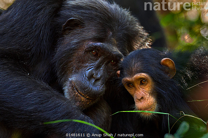 Eastern chimpanzee (Pan troglodytes schweinfurtheii) infant female 'Safi' aged 2 years with female 'Nasa' aged 23 years. Gombe National Park, Tanzania., high1314,Animal,Vertebrate,Mammal,Ape,Chimpanzee,Eastern chimpanzee,Animalia,Animal,Wildlife,Vertebrate,Mammalia,Mammal,Primate,Primates,Hominidae,Ape,Greater apes,Hominoidea,Pan,Pan troglodytes,Chimpanzee,Common Chimpanzee,Robust Chimpanzee,Teaching,Teach,Care,Caring,Gentleness,Gently,Curiosity,Togetherness,Close,Together,Black,Two,Nobody,Facial Expression,Smiling,Africa,East Africa,Tanzania,Head To Head,Close Up,Young Animal,Juvenile,Babies,Female animal,Outdoors,Open Air,Outside,Day,Reserve,Family,Mother baby,Mother-baby,mother,Eastern chimpanzee,Protected area,National Park,Two animals,Direct Gaze,Parent baby,Parenting,Gombe National Park,Endangered species,Endangered,Threatened,,Great apes,, Anup Shah
