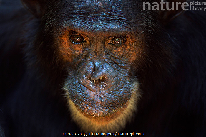 Eastern chimpanzee (Pan troglodytes schweinfurtheii) male 'Freud' aged 40 years head portrait. Gombe National Park, Tanzania., catalogue7,Animal,Vertebrate,Mammal,Ape,Chimpanzee,Eastern chimpanzee,Animalia,Animal,Wildlife,Vertebrate,Mammalia,Mammal,Primate,Primates,Hominidae,Ape,Greater apes,Hominoidea,Pan,Chimpanzee,Pan troglodytes,Common Chimpanzee,Robust Chimpanzee,Sadness,Old,Nobody,Dark,Darkness,Facial Expression,Smiling,Africa,East Africa,Tanzania,Close Up,Portrait,Male Animal,Animal Nose,Animal Noses,Nose,Noses,Brown Eyes,Brown Eye,Nature,Natural,Natural World,Wild,Reserve,Eastern chimpanzee,Protected area,National Park,Gombe National Park,Endangered species,Endangered,Threatened,,Great apes,, Fiona Rogers