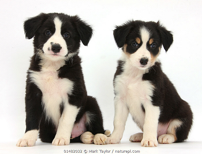 RF- Border Collie puppies, age 6 weeks. (This image may be licensed either as rights managed or royalty free.), Canis familiaris,Sitting,Cute,Adorable,Partnership,Colour,Black,White,Side By Side,Two,Nobody,Cutout,Plain Background,White Background,Portrait,Animal,Young Animal,Juvenile,Babies,Baby Mammal,Puppy,Indoors,Studio Shot,Domestic animal,Pet,Domestic Dog,Pastoral Dog,Medium dog,Border Collie,Collie,Domesticated,Canis familiaris,Colour Coordinated,Dog,Two animals,Direct Gaze,Mammal,RF,Royalty free,RFCAT1,RF17Q1,, Mark Taylor