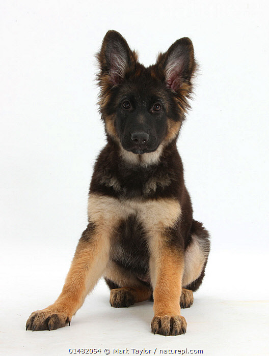 German Shepherd Dog bitch puppy age 14 weeks., CANIS FAMILIARIS,SITTING,SEATED,SIT,SITS,SITTING DOWN,CUTE,ADORABLE,CUTOUT,PLAIN BACKGROUND,WHITE BACKGROUND,PORTRAIT,ANIMAL,YOUNG ANIMAL,JUVENILE,BABIES,BABY MAMMAL,BABY MAMMALS,PUPPY,PUPPIES,FEMALE ANIMAL,BITCH,BITCHES,DOMESTIC ANIMAL,PET,DOMESTIC DOG,PASTORAL DOG,LARGE DOG,GERMAN SHEPHERD DOG,DOMESTIC ANIMALS,YOUNG,DOMESTICATED,CANIS FAMILIARIS,DOG,BABY,DIRECT GAZE ,Vertical,, Mark Taylor