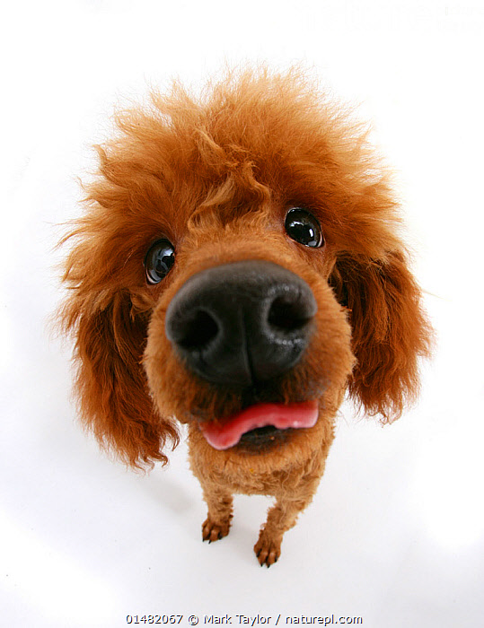 Red toy poodle looking up at camera an sticking out tongue.  ,  catalogue7,Canis familiaris,Standing,Hope,Humorous,Black Eye,Black Eyes,Colour,Brown,Hairstyle,Hairstyles,Nobody,Distorted,Distort,Distorting,Fluffy,Facial Expression,Making A Face,Sticking Out Tongue,Cutout,Plain Background,White Background,Close Up,High Angle View,Unusual Angle,Portrait,Animal,Animal Nose,Animal Noses,Nose,Noses,Indoors,Studio Shot,Studio Shots,Domestic animal,Pet,Domestic Dog,Utility Dog,Small dog,Toy Poodle,Poodle,Canis familiaris,Dog,Elevated view,Direct Gaze,Mammal,Brown Colour  ,  Mark Taylor