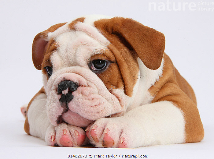 RF- Head portrait of Bulldog puppy with chin on paws. (This image may be licensed either as rights managed or royalty free.), Canis familiaris,Resting,Rest,Thoughtful,Pensive,Cute,Adorable,Guilt,Regret,Sadness,Loneliness,Lonely,Nobody,Wrinkled,Wrinkle,Wrinkles,Cutout,Plain Background,White Background,Close Up,Portrait,Animal,Young Animal,Juvenile,Babies,Baby Mammal,Puppy,Animal Feet,Feet,Foot,Paw,Paws,Indoors,Studio Shot,Domestic animal,Pet,Domestic Dog,Utility Dog,Medium dog,Bulldog,Domesticated,Canis familiaris,Dog,Contemplation,Head on paws,Mammal,RF,Royalty free,RFCAT1,RF17Q1,, Mark Taylor