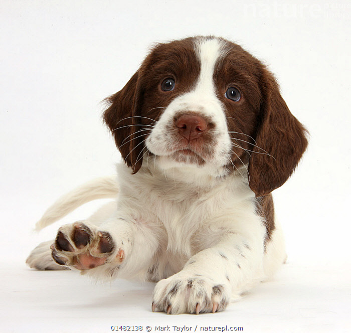 Working English Springer Spaniel puppy, 6 weeks, lying with head up and pointing a paw., CANIS FAMILIARIS,LYING DOWN,CUTE,ADORABLE,CUTOUT,PLAIN BACKGROUND,WHITE BACKGROUND,PORTRAIT,ANIMAL,YOUNG ANIMAL,JUVENILE,BABIES,BABY MAMMAL,BABY MAMMALS,PUPPY,PUPPIES,DOMESTIC ANIMAL,PET,DOMESTIC DOG,GUN DOG,MEDIUM DOG,ENGLISH SPRINGER SPANIEL,DOMESTIC ANIMALS,YOUNG,DOMESTICATED,CANIS FAMILIARIS,DOG,BABY,DIRECT GAZE,SPANIEL, Mark Taylor