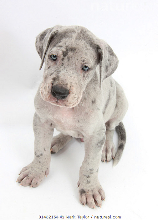 Great Dane puppy sitting and looking up.  ,  CANIS FAMILIARIS,SITTING,SEATED,SIT,SITS,SITTING DOWN,CUTE,ADORABLE,CUTOUT,PLAIN BACKGROUND,WHITE BACKGROUND,PORTRAIT,ANIMAL,YOUNG ANIMAL,JUVENILE,BABIES,BABY MAMMAL,BABY MAMMALS,PUPPY,PUPPIES,DOMESTIC ANIMAL,PET,DOMESTIC DOG,WORKING DOG,EXTRA LARGE DOG,GREAT DANE,DOMESTIC ANIMALS,YOUNG,DOMESTICATED,CANIS FAMILIARIS,DOG,BABY,DIRECT GAZE ,Vertical,  ,  Mark Taylor