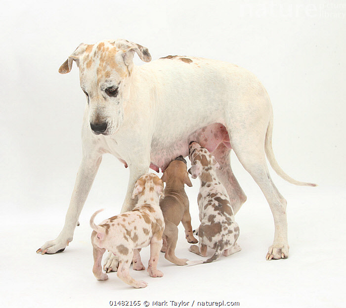 Great Dane bitch, with suckling puppies.  ,  CANIS FAMILIARIS,CUTOUT,PLAIN BACKGROUND,WHITE BACKGROUND,PORTRAIT,ANIMAL,YOUNG ANIMAL,JUVENILE,BABIES,BABY MAMMAL,BABY MAMMALS,PUPPY,PUPPIES,FEMALE ANIMAL,BITCH,BITCHES,ANIMAL BEHAVIOUR,PARENTAL BEHAVIOUR,SUCKLING,FEEDING YOUNG,DOMESTIC ANIMAL,PET,FAMILY,MOTHER BABY,BEHAVIOUR,MOTHER BABY,MOTHER,DOMESTIC DOG,WORKING DOG,EXTRA LARGE DOG,GREAT DANE,DOMESTIC ANIMALS,YOUNG,DOMESTICATED,PARENTAL,CANIS FAMILIARIS,DOG,BABY,PARENT BABY  ,  Mark Taylor