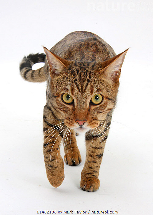 Bengal male cat stalking.  ,  high15,,Felis catus,Walking,Determination,Focus,Stealth,Nobody,Serious,Cutout,Plain Background,White Background,Front View,View From Front,Portrait,Animal,Male Animal,Animal Nose,Nose,Noses,Indoors,Studio Shot,Studio Shots,Animal Behaviour,Predation,Stalking,Hunting,Domestic animal,Pet,Behaviour,Domestic Cat,Cats,Bengal,Felis catus,Cat,Whiskers,Direct Gaze,Focused,,,Rebel,,,eye contact,  ,  Mark Taylor