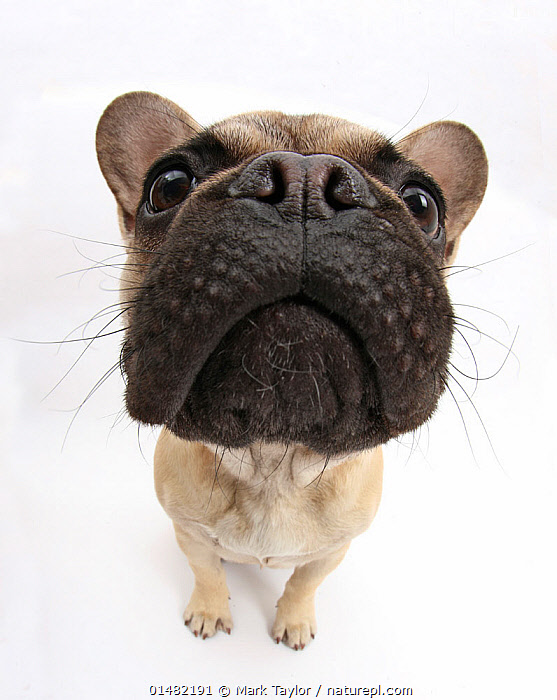 French Bulldog sitting looking up, close up of muzzle, high15,,,Head Back,Head Cocked,Cute,Adorable,Fear,Obedience,Pride,Proud,Responsibility,Accountability,Duty,Responsible,Nobody,Distorted,Distort,Distorting,Cutout,Plain Background,White Background,Close Up,High Angle View,Portrait,Animal,Animal Nose,Nose,Noses,Muzzle,Muzzles,Indoors,Studio Shot,Studio Shots,Elevated view,Direct Gaze,Haughty,, Mark Taylor