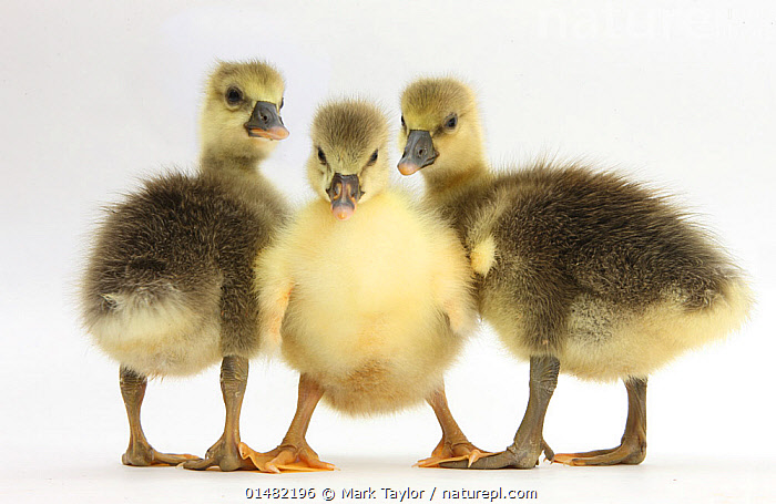 Three Embden x Greylag Goslings., CUTE,ADORABLE,FEW,THREE,GROUP,CUTOUT,PLAIN BACKGROUND,WHITE BACKGROUND,PORTRAIT,ANIMAL,YOUNG ANIMAL,JUVENILE,BABIES,CHICK,GOSLING,GOSLINGS,DOMESTIC ANIMAL,DOMESTIC ANIMALS,YOUNG,DOMESTIC BIRDS,DOMESTIC BIRD,DOMESTICATED,BABY,DIRECT GAZE,THREE ANIMALS, Mark Taylor