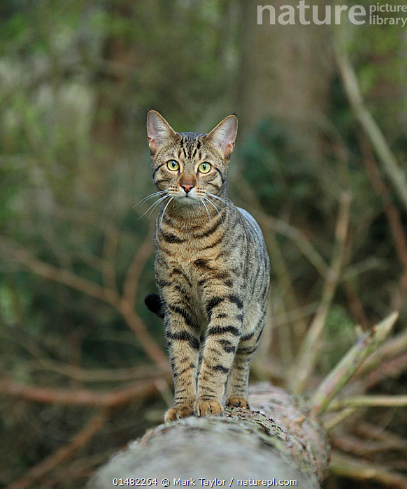 Bengal cat standing on a fallen tree.  ,  high15,,Felis catus,Standing,Alertness,Alert,Surprise,Anxiety,Shock,Shocked,Shocks,Nobody,Pattern,Patterned,Patterns,Full Length,Full Lengths,Whole,Front View,View From Front,Portrait,Animal,Plant,Tree,Fallen Tree,Outdoors,Open Air,Outside,Day,Woodland,Domestic animal,Pet,Forest,Domestic Cat,Cats,Bengal,Felis catus,Cat,Direct Gaze,Animal marking,Forest floor,  ,  Mark Taylor