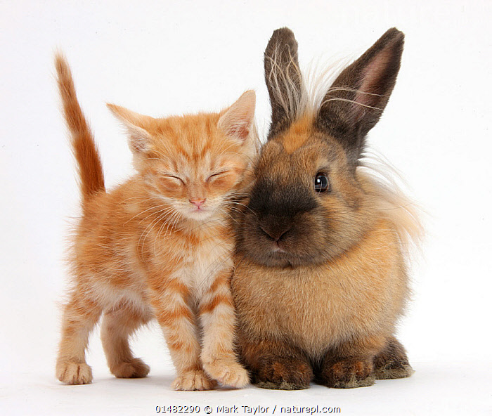 Sleepy ginger kitten and lionhead cross rabbit. NOT AVAILABLE FOR BOOK USE, FELIS CATUS,ORYCTOLAGUS CUNICULUS,CUTE,ADORABLE,RELATIONSHIP,FRIENDSHIP,COLOUR,TWO,TIREDNESS,CUTOUT,PLAIN BACKGROUND,WHITE BACKGROUND,PORTRAIT,ANIMAL,YOUNG ANIMAL,JUVENILE,BABIES,BABY MAMMAL,BABY MAMMALS,KITTEN,KITTENS,DOMESTIC ANIMAL,PET,DOMESTIC CAT,CATS,DOMESTIC RABBIT,LIONHEAD,DOMESTIC ANIMALS,YOUNG,DOMESTICATED,FELIS CATUS,ORYCTOLAGUS CUNICULUS,UNLIKELY FRIENDS,UNUSUAL FRIENDS,BUNNY,CAT,CROSSBREED,BABY,TWO ANIMALS,GINGER COLOUR,Concepts, Mark Taylor