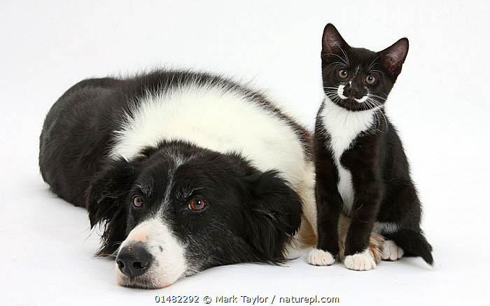 Black and white Border collie bitch with black and white tuxedo kitten age 10 weeks. NOT AVAILABLE FOR BOOK USE, FELIS CATUS,CANIS FAMILIARIS,CUTE,ADORABLE,RELATIONSHIP,FRIENDSHIP,COLOUR,BLACK,WHITE,TWO,CUTOUT,PLAIN BACKGROUND,WHITE BACKGROUND,BLACK AND WHITE,B/W,MONOCHROMATIC,PORTRAIT,ANIMAL,YOUNG ANIMAL,JUVENILE,BABIES,BABY MAMMAL,BABY MAMMALS,KITTEN,KITTENS,FEMALE ANIMAL,BITCH,BITCHES,DOMESTIC ANIMAL,PET,DOMESTIC DOG,PASTORAL DOG,MEDIUM DOG,COLLIE,DOMESTIC CAT,CATS,DOMESTIC ANIMALS,YOUNG,DOMESTICATED,FELIS CATUS,CANIS FAMILIARIS,COLOUR COORDINATED,UNLIKELY FRIENDS,UNUSUAL FRIENDS,CAT,DOG,BABY,TWO ANIMALS,DIRECT GAZE,WHITE COLOUR,Concepts, Mark Taylor