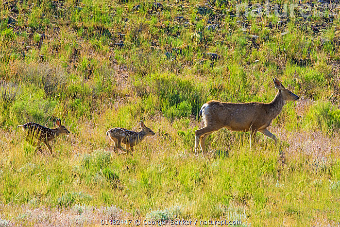 Mule deer (Odocoileus hemionus) newborn twins following mother, Yellowstone National Park, Wyoming, USA, June., ANIMAL,VERTEBRATE,MAMMAL,DEER,BLACK TAILED DEER,ANIMALIA,ANIMAL,WILDLIFE,VERTEBRATE,CHORDATE,MAMMALIA,MAMMAL,ARTIODACTYLA,EVEN TOED UNGULATES,CERVIDAE,DEER,TRUE DEER,RUMINANTIA,RUMINANT,ODOCOILEUS,ODOCOILEUS HEMIONUS,BLACK TAILED DEER,MULE DEER,MOVING AFTER,FOLLOWING,FOLLOW,FOLLOWS,WALKING,FEW,THREE,GROUP,NORTH AMERICA,USA,WESTERN USA,SIDE VIEW,YOUNG ANIMAL,JUVENILE,BABIES,BABY MAMMAL,BABY MAMMALS,FAWN,FEMALE ANIMAL,PLANT,GRASS FAMILY,GRASSES,GRASSLAND,HABITAT,RESERVE,FAMILY,MOTHER BABY,MOTHER BABY,MOTHER,YOUNG,PROTECTED AREA,NATIONAL PARK,BABY,YELLOWSTONE NATIONAL PARK,PARENT BABY,MOVING, George  Sanker