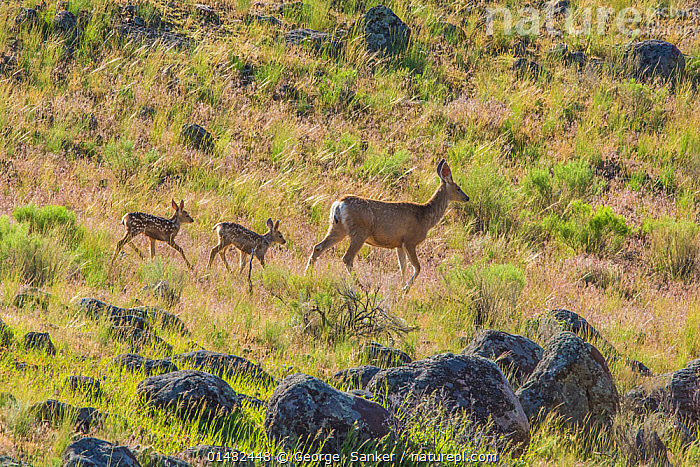 Mule deer (Odocoileus hemionus) newborn twins following mother, Yellowstone National Park, Wyoming, USA, June., ANIMAL,VERTEBRATE,MAMMAL,DEER,BLACK TAILED DEER,ANIMALIA,ANIMAL,WILDLIFE,VERTEBRATE,CHORDATE,MAMMALIA,MAMMAL,ARTIODACTYLA,EVEN TOED UNGULATES,CERVIDAE,DEER,TRUE DEER,RUMINANTIA,RUMINANT,ODOCOILEUS,ODOCOILEUS HEMIONUS,BLACK TAILED DEER,MULE DEER,MOVING AFTER,FOLLOWING,FOLLOW,FOLLOWS,WALKING,FEW,THREE,GROUP,NORTH AMERICA,USA,WESTERN USA,SIDE VIEW,FEMALE ANIMAL,GRASSLAND,HABITAT,RESERVE,FAMILY,MOTHER BABY,MOTHER BABY,MOTHER,PROTECTED AREA,NATIONAL PARK,YELLOWSTONE NATIONAL PARK,PARENT BABY,MOVING, George  Sanker