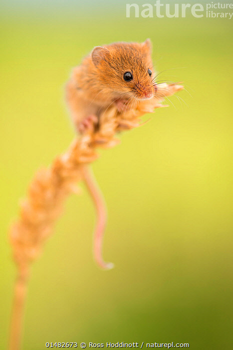 Harvest mouse (Micromys minutus) on wheat stem, Devon, UK (captive). May.  ,  high15,,Animal,Vertebrate,Mammal,Rodent,Mouse,Eurasian Harvest Mouse,Animalia,Animal,Wildlife,Vertebrate,Mammalia,Mammal,Rodentia,Rodent,Muridae,Micromys,Mouse,Micromys minutus,Eurasian Harvest Mouse,Harvest Mouse,Balance,Cute,Adorable,Nobody,Size,Small,Little,Tiny,Shy,Europe,Western Europe,UK,Great Britain,England,Devon,Copy Space,Vertical,Close Up,Plant,Arable Plants,Crops,Produce,Cultivated,Cultivation,Stem,Outdoors,Open Air,Outside,Day,Pests,Negative space,  ,  Ross Hoddinott