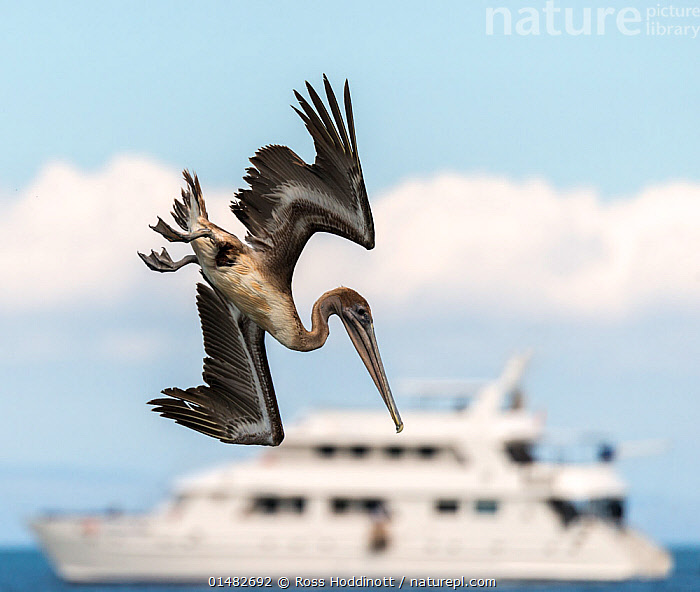 Brown pelican (Pelecanus occidentalis) diving for fish with the Athala II boat in the background, Espumilla beach, Galapagos, Ecuador. April.  ,  catalogue7,Animal,Vertebrate,Bird,Birds,Pelican,Brown pelican,Animalia,Animal,Wildlife,Vertebrate,Aves,Bird,Birds,Pelecaniformes,Pelecanidae,Pelican,Pelecanus,Pelecanus occidentalis,Brown pelican,Diving,Agility,Agile,On The Move,Nobody,Latin America,South America,Galapagos Islands,Galapagos,The Galapagos,The Galapagos Islands,Cutout,Profile,Close Up,Side View,Camera Focus,Selective Focus,Focus On Foreground,Focus On Foregrounds,Wing,Wings,Boat,Boats,Sailboat,Sail Boat,Sail Boats,Sailboats,Sailing Boat,Sailing Boats,Catamaran,Catamarans,Sky,Cloud,Outdoors,Open Air,Outside,Day,Nature,Natural,Natural World,Wild,Marine,Water,Animal Behaviour,Playing,Multihull,Behaviour,Saltwater,Sea,Play,Playful,Biodiversity hotspot,Ventral view,Underside,Wings spread,Wingspan,Shallow depth of field,Low depth of field,Moving,Awkward,Athala II,Espumilla Beach,Santiago Island,Seabird,Seabirds,Marine bird,Marine birds,Pelagic bird,Pelagic birds  ,  Ross Hoddinott