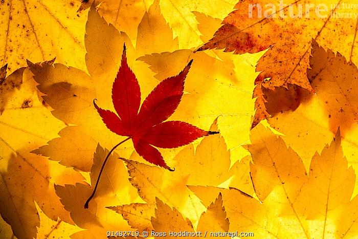 Maple leaves backlit on lightbox, Broxwater, Cornwall, UK. November 2013.  ,  high15,,,Contrasts,Independence,Independent,Memories,Sayings,Standing From The Crowd,Separated,Colour,Yellow,Nobody,Shape,Shapes,Thanksgiving,Europe,Western Europe,UK,Great Britain,England,Cornwall,Full Frame,Close Up,Back Lit,Backlit,Plant,Leaf,Foliage,Tree,Deciduous,Maple Family,Maple,Maple Tree,Maple Trees,Maples,Indoors,Studio Shot,Studio Shots,Landscape,Landscapes,Outdoors,Open Air,Outside,Autumn,Autumnal,Fall,Day,Backgrounds,Background,Arty shots,Hues,Yellow Colour,,,Beauty in nature,,,beauty in nature,  ,  Ross Hoddinott