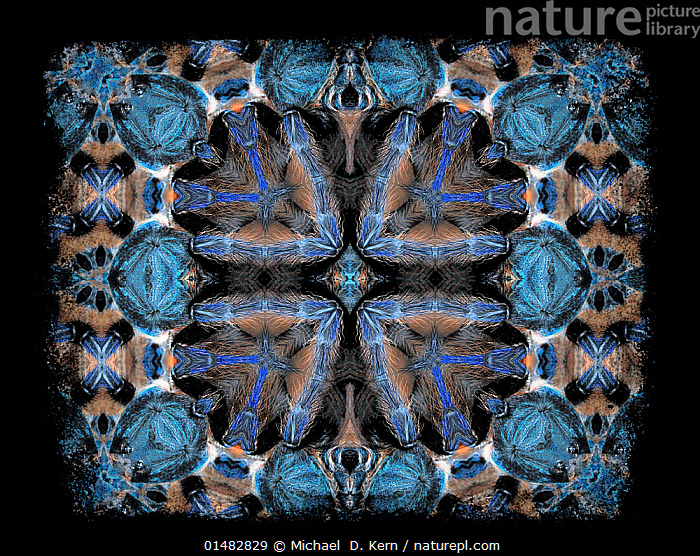 Kaleidoscope pattern formed from picture of Greenbottle blue tarantula (Chromatopelma cyaneopubescens) - see original image number 01482830 EMBARGOED FOR NAT GEO UNTIL the end of 2015  ,  Animal,Arthropod,Arachnid,Spider,Tarantula,Greenbottle blue tarantula,Animalia,Animal,Wildlife,Chelicerata,Arthropod,Chelicerate,Arthropoda,Arachnida,Arachnid,Aranae,Spider,Theraphosidae,Tarantula,Chromatopelma,Chromatopelma cyanopubescens,Greenbottle blue tarantula,Eurypelma cyaneopubescens,Delopelma cyaneopubescens,Colour,Colourful,Colorful,Psychedelic,Pattern,Patterned,Patterns,Arty shots,Abstract,Abstracts,Invertebrate,Kaleidoscope pattern  ,  Michael  D. Kern