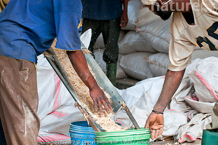 Nature Picture Library - Workers collecting shelled Maize (Zea mays
