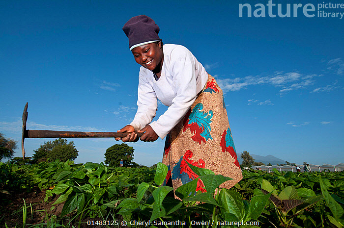 Woman weeding in a field of Green beans (Phaseolus vulgaris) on commercial farm. The woman wears traditional clothing, a 'kitenge', wrapped around her. Tanzania, East Africa. December 2010., PLANT,VASCULAR PLANT,FLOWERING PLANT,ROSID,LEGUME,BEAN,COMMON BEAN,PLANTAE,PLANT,TRACHEOPHYTA,VASCULAR PLANT,MAGNOLIOPSIDA,FLOWERING PLANT,ANGIOSPERM,SEED PLANT,SPERMATOPHYTE,SPERMATOPHYTINA,ANGIOSPERMAE,FABALES,ROSID,DICOT,DICOTYLEDON,ROSANAE,FABACEAE,LEGUME,PEA,BEAN,LEGUMINOSAE,PHASEOLUS,BEAN PLANT,WILD BEAN,PHASEOLUS VULGARIS,COMMON BEAN,KIDNEY BEAN,PHASEOLUS NANUS,PHASEOLUS ESCULENTUS,PHASEOLUS COMMUNIS,WORKING,MANUAL LABOUR,MANUAL LABOR,PEOPLE,AFRICAN DESCENT,NATIVE AFRICAN ETHNICITY,FEMALE,WOMAN,AGRICULTURAL OCCUPATION,FARM WORKER,FARMER,AFRICA,EAST AFRICA,TANZANIA,LOW ANGLE VIEW,ARABLE PLANT,ARABLE PLANTS,CROPS,PRODUCE,CULTIVATED,CULTIVATION,VEGETABLE,VEGETABLES,LEGUMES,PULSE,BEANS,GREEN BEAN,FRENCH BEAN,FRENCH BEANS,GREEN BEANS,HARICOT BEAN,HARICOT BEANS,CLOTHING,HEADDRESS,HEADSCARF,HEADSCARFES,HEADSCARFS,HEADSCARVES,TRADITIONAL CLOTHING,FARMS,CULTIVATED LAND,FIELDS,SKY,AGRICULTURE,FARMLAND,BLUE SKY,LOW ANGLE SHOT,EDIBLE,VEGETABLE,VEGETABLES, Cheryl-Samantha  Owen