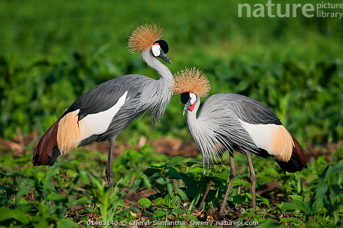 Two Grey crowned cranes (Balearica regulorum gibbericeps) foraging on a commercial green bean farm, Tanzania, East Africa.  ,  ANIMAL,VERTEBRATE,BIRDS,CRANE,CROWNED CRANE,EAST AFRICAN CROWNED CRANE,ANIMALIA,ANIMAL,WILDLIFE,VERTEBRATE,CHORDATE,AVES,BIRDS,GRUIFORMES,GRUIDAE,CRANE,BALEARICA,CROWNED CRANE,BALEARICA REGULORUM,BLUE NECKED CRANE,ROYAL CRANE,FORAGING,TWO,AFRICA,EAST AFRICA,TANZANIA,SIDE VIEW,PLANT,ARABLE PLANT,ARABLE PLANTS,CROPS,PRODUCE,CULTIVATED,CULTIVATION,FARMS,CULTIVATED LAND,FIELDS,AGRICULTURE,FARMLAND,BALEARICA REGULORUM GIBBERICEPS,EAST AFRICAN CROWNED CRANE,ENDANGERED SPECIES,THREATENED,ENDANGERED  ,  Cheryl-Samantha  Owen