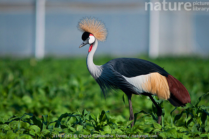Grey crowned crane (Balearica regulorum gibbericeps) foraging in a bean field, Tanzania, East Africa.  ,  ANIMAL,VERTEBRATE,BIRDS,CRANE,CROWNED CRANE,EAST AFRICAN CROWNED CRANE,ANIMALIA,ANIMAL,WILDLIFE,VERTEBRATE,CHORDATE,AVES,BIRDS,GRUIFORMES,GRUIDAE,CRANE,BALEARICA,CROWNED CRANE,BALEARICA REGULORUM,BLUE NECKED CRANE,ROYAL CRANE,FORAGING,AFRICA,EAST AFRICA,TANZANIA,SIDE VIEW,PLANT,ARABLE PLANT,ARABLE PLANTS,CROPS,PRODUCE,CULTIVATED,CULTIVATION,FARMS,CULTIVATED LAND,FIELDS,AGRICULTURE,FARMLAND,BALEARICA REGULORUM GIBBERICEPS,EAST AFRICAN CROWNED CRANE,ENDANGERED SPECIES,THREATENED,ENDANGERED  ,  Cheryl-Samantha  Owen