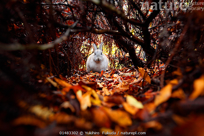 Feral domestic rabbit (Oryctolagus cuniculus) amongst autumn leaves, Okunojima Island, also known as Rabbit Island, Hiroshima, Japan.  ,  catalogue7,Animal,Vertebrate,Mammal,Lagomorph,Leporid,Dwarf rabbit,European rabbit,Animalia,Animal,Wildlife,Vertebrate,Mammalia,Mammal,Lagomorpha,Lagomorph,Leporidae,Leporid,Oryctolagus,Dwarf rabbit,Oryctolagus cuniculus,European rabbit,Approaching,Approach,Approaches,Approachs,Running,White,Nobody,Dark,Darkness,Shy,Asia,East Asia,Japan,Honshu,Hiroshima Prefecture,Hiroshima,Front View,View From Front,Camera Focus,Selective Focus,Focus On Background,Focus On Backgrounds,Plant,Leaf,Foliage,Building,Tunnel,Tunnels,Outdoors,Open Air,Outside,Autumn,Autumnal,Fall,Day,Feral,Shallow depth of field,Low depth of field,White colour,Fallen Leaves,Okunojima Island  ,  Yukihiro  Fukuda