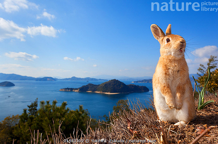 Feral domestic rabbit (Oryctolagus cuniculus) standing on hind legs on coast, Okunojima Island, also known as Rabbit Island, Hiroshima, Japan., catalogue7,Animal,Vertebrate,Mammal,Lagomorph,Leporid,Dwarf rabbit,European rabbit,Animalia,Animal,Wildlife,Vertebrate,Mammalia,Mammal,Lagomorpha,Lagomorph,Leporidae,Leporid,Oryctolagus,Dwarf rabbit,Oryctolagus cuniculus,European rabbit,Yawning,Standing,Glance,Glances,Glancing,Look Away,Looks Away,Humorous,Nobody,Distracted,Facial Expression,Making A Face,Mouth Open,Asia,East Asia,Japan,Honshu,Hiroshima Prefecture,Hiroshima,Camera Focus,Selective Focus,Focus On Foreground,Focus On Foregrounds,Island,Islands,Sky,Landscape,Landscapes,Outdoors,Open Air,Outside,Day,Coast,Marine,Coastal,Water,Habitat,Saltwater,Sea,Feral,Standing on hind legs,Shallow depth of field,Low depth of field,Blue sky,Okunojima Island, Yukihiro  Fukuda