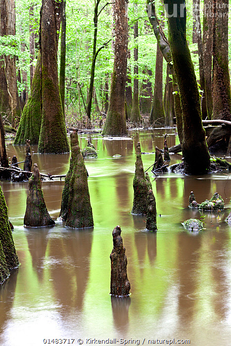 Flooded area with bald cypress trees (Taxodium distichum) and  cypress knees growing out of the water along the Boardwalk Trail in Congaree National Park, South Carolina, USA., catalogue7,Plant,Vascular plant,Conifer,Cypress,Bald cypress tree,Freshwater swamp forests,American,Plantae,Plant,Tracheophyta,Vascular plant,Pinopsida,Conifer,Gymnosperm,Spermatophyte,Pinophyta,Coniferophyta,Coniferae,Spermatophytina,Gymnospermae,Cupressales,Cupressaceae,Cypress,Taxodium,Taxodium distichum,Bald cypress tree,Baldcypress,Southern cypress,White cypress,Gulf cypress,Taxodium denudatum,Cupressus disticha,Cupressepinnata disticha,Growth,Grow,Growing,Grows,Mood,Calm,Nobody,Wet,Damp,North America,USA,Southern USA,Southeast US,South Carolina,Vertical,Tree Trunk,Flood,Mud,Muddy,Landscape,Landscapes,Outdoors,Open Air,Outside,Day,Nature,Natural,Natural World,Woodland,Freshwater,Wetland,Swamp,Water,Reserve,Forest,Protected area,National Park,Freshwater swamp forests,American,Congaree,Cypress Knee,Tree,Trees, Kirkendall-Spring