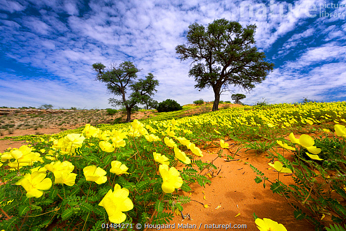 Acacia tree amongst flowering Tribulus on Kalahari Dune. Kgalagadi Transfrontier Park, Southern Africa. January 2010.  ,  COLOUR,YELLOW,VIBRANT COLOUR,VIBRANT COLOR,VIBRANT,AFRICA,SOUTHERN AFRICA,LOW ANGLE VIEW,PLANT,FABALE,FABALES,MIMOSA FAMILY,MIMOSA,MIMOSAS,ACACIAS,ACACIA,FLOWER,TREE,SAND DUNE,DUNE,DUNES,SANDBANK,LANDSCAPE,LANDSCAPES,RESERVE,PROTECTED AREA,NATIONAL PARK,SOUTHERN AFRICAN,INTERNATIONAL PARKS,KGALAGADI TRANSFRONTIER PARK,KALAHARI,KGALAGADI,LOW ANGLE SHOT  ,  Hougaard Malan