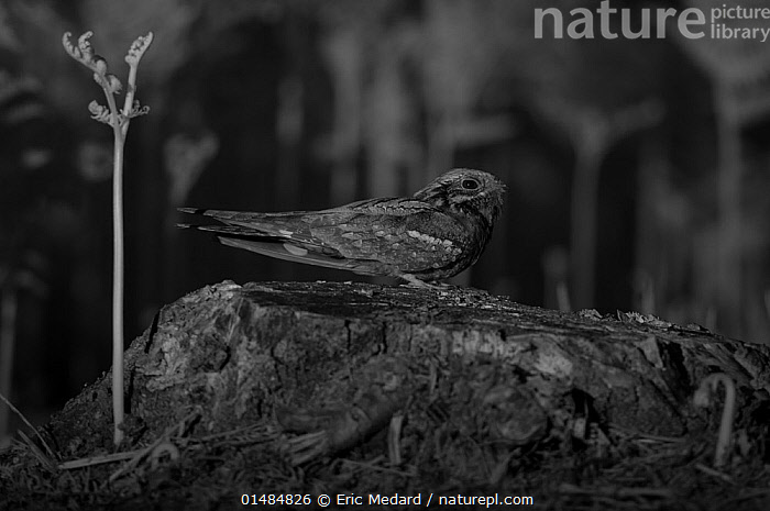 Nightjar (Caprimulgus europaeus) taken at night with infra-red remote camera trap, Mayenne, France, June., Animal,Vertebrate,Birds,Nightjar,Eurasian nightjar,Animalia,Animal,Wildlife,Vertebrate,Chordate,Aves,Birds,Caprimulgiformes,Caprimulgidae,Nightjar,Caprimulgus,Caprimulgus europaeus,Eurasian nightjar,Common nightjar,European nightjar,Europe,Western Europe,France,Pays de la Loire,Profile,Side View,Lighting Technique,Night,Nocturnal,Infrared,IR,Mayenne, Eric  Medard