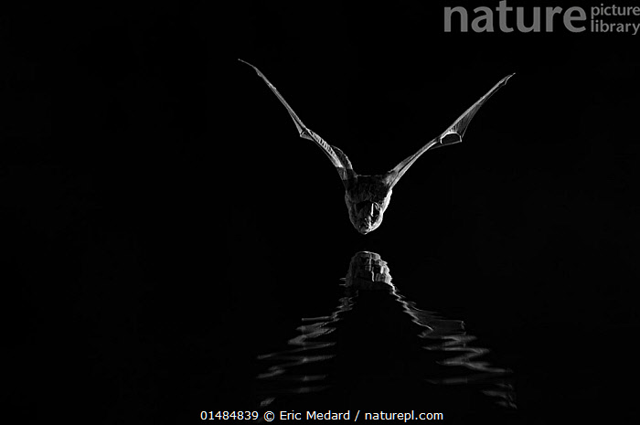 Leisler's bat (Nyctalus leisleri) flying low over water, taken at night with infra-red remote camera trap, France, July., catalogue7,Animal,Vertebrate,Mammal,Bat,Vespertilionid bat,Noctule bats,Leisler's Bat,Animalia,Animal,Wildlife,Vertebrate,Mammalia,Mammal,Chiroptera,Bat,Vespertilionidae,Vespertilionid bat,Microchiroptera,Microbat,Micro bat,Nyctalus,Noctule bats,Noctule,Nyctalus leisleri,Leisler's Bat,Lesser Noctule,Flying,Mood,Eerie,Sinister,Stealth,Threat,Menace,Menaces,Menacing,Threatening,Threats,Nobody,Dark,Darkness,Halloween,Europe,Western Europe,France,Copy Space,Plain Background,Black Background,Front View,View From Front,Lighting Technique,Wing,Wings,Reflection,Outdoors,Open Air,Outside,Night,Nocturnal,Water,Flight,Wings spread,Wingspan,Negative space, Eric  Medard