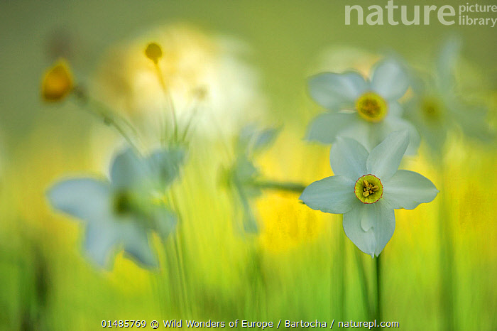 Poet's daffodil (Narcissus poeticus) on the Piano Grande, Monti Sibillini National Park, Italy, May.  ,  high15,,Plant,Vascular plant,Flowering plant,Monocot,Daffodil,Nargis,Plantae,Plant,Tracheophyta,Vascular plant,Magnoliopsida,Flowering plant,Angiosperm,Seed plant,Spermatophyte,Spermatophytina,Angiospermae,Asparagales,Monocot,Monocotyledon,Lilianae,Amaryllidaceae,Narcissus,Daffodil,Narcissus poeticus,Nargis,Pheasant's eye,Findern flower,Pinkster lily,Autogenes poeticus,Poet's daffodil,Poet's narcissus,Confidence,Energetic,Mood,Dreamy,Dream,Dreamlike,Dreams,Sayings,Standing From The Crowd,Separated,Colour,White,Nobody,Europe,Southern Europe,Italy,Close Up,Camera Focus,Soft Focus,Soft Focused,Flower,Flowers,Outdoors,Open Air,Outside,Day,Grassland,Meadow,Meadows,Arty shots,Wild wonders of Europe,WWE,Rewilding,White colour,Flowerhead,Piano Grande,Sibillini,Apennine Mountains,Sandra Bartocha,Monti Sibillini National Park,  ,  Wild Wonders of Europe / Bartocha
