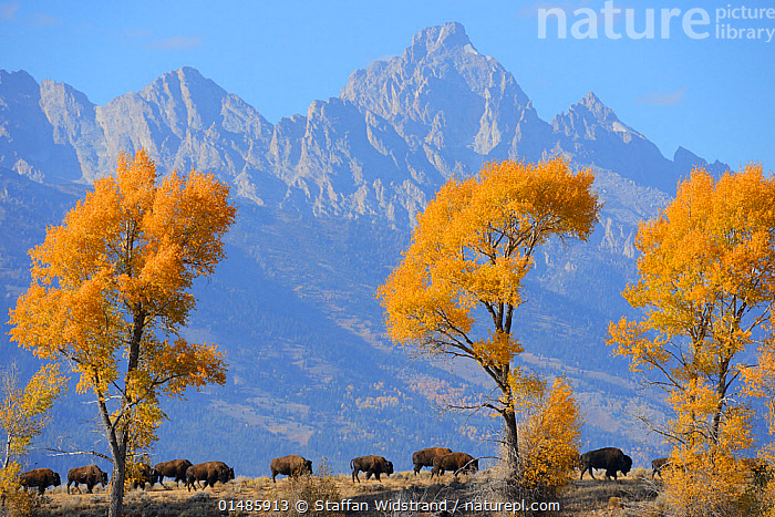 American Bison (Bison bison) in habitat, Grand Teton National Park, Wyoming, USA, October., high15,,Animal,Vertebrate,Mammal,Bovid,Bison,American Bison,American,Animalia,Animal,Wildlife,Vertebrate,Mammalia,Mammal,Artiodactyla,Even-toed ungulates,Bovidae,Bovid,ruminantia,Ruminant,Bison,Bison bison,American Bison,American buffalo,Walking,On The Move,Togetherness,Close,Together,Colour,Yellow,Group Of Animals,Herd,Herds,Group,Nobody,Jagged,Craggy,North America,USA,Western USA,Wyoming,Plant,Tree,Mountain,Landscape,Landscapes,Outdoors,Open Air,Outside,Autumn,Autumnal,Fall,Day,Habitat,Grand Teton National Park,Yellowstone National Park,Moving,Insignificant,American,Yellow Colour,United States of America,, Staffan Widstrand