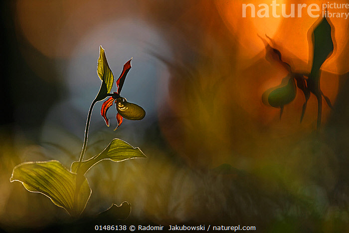 Lady�s slipper orchid (Cypripedium calceolus), Bavaria, Germany, May. 2nd Prize in the Melvita Nature Images Awards competition 2014.  ,  catalogue7,Plant,Vascular plant,Flowering plant,Monocot,Orchid,Lady's slipper orchid,Plantae,Plant,Tracheophyta,Vascular plant,Magnoliopsida,Flowering plant,Angiosperm,Seed plant,Spermatophyte,Spermatophytina,Angiospermae,Asparagales,Monocot,Monocotyledon,Lilianae,Orchidaceae,Orchid,Cypripedium,Lady's slipper orchid,Lady slipper orchid,Slipper orchid,Cypripedioideae,Cypripedium calceolus,Yellow lady's slipper orchid,Atmospheric Mood,Atmospheric,Curiosity,Growth,Grow,Growing,Grows,Mystery,Mysterious,Nobody,Europe,Western Europe,Germany,Bavaria,Close Up,Back Lit,Backlit,Flower,Stem,Shadow,Outdoors,Open Air,Outside,Night,Nature,Natural,Natural World,Beauty In Nature,Arty shots  ,  Radomir  Jakubowski