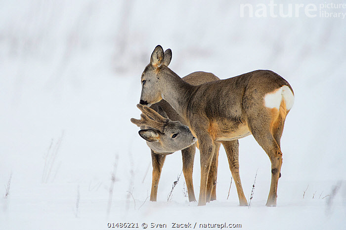 Roe deer (Capreolus capreolus) buck and doe interacting, Vesneri, Estonia, March. Winner of the Animal stories portfolio in the Melvita Nature Images Awards competition 2014., high1314,Animal,Vertebrate,Mammal,Deer,Roe deer,Animalia,Animal,Wildlife,Vertebrate,Mammalia,Mammal,Artiodactyla,Even-toed ungulates,Cervidae,Deer,True deer,ruminantia,Ruminant,Capreolus,Roe deer,Capreolus capreolus,Nuzzling,Standing,Courting,Curiosity,Patience,Two,Nobody,Affectionate,Affection,Europe,Eastern Europe,East Europe,Baltic Countries,Baltic States,Estonia,Close Up,Side View,Female animal,Doe,Does,Male Animal,Buck,Snow,Outdoors,Open Air,Outside,Winter,Day,Animal Behaviour,Mating Behaviour,Courtship,Behaviour,Two animals,Tartumaa,Hind,Hinds,Vesneri, Sven  Zacek