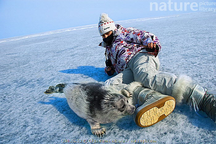 Woman with baby Baikal seal (Pusa sibirica) on ice, endemic species. Lake Baikal, Russia, April 2009.  ,  ANIMAL,VERTEBRATE,MAMMAL,CARNIVORE,TRUE SEAL,BAIKAL SEAL,ANIMALIA,ANIMAL,WILDLIFE,VERTEBRATE,CHORDATE,MAMMALIA,MAMMAL,CARNIVORA,CARNIVORE,PHOCIDAE,TRUE SEAL,PINNIPEDS,PINNIPEDIA,PUSA,PUSA SIBIRICA,BAIKAL SEAL,LAKE BAIKAL SEAL,NERPA,PHOCA SIBRICA,PHOCA BAICALENSIS,PUSA BAICALENSIS,LYING DOWN,SMELLING,SNIFFING,PEOPLE,FEMALE,WOMAN,CUTE,ADORABLE,FROZEN,TEMPERATURE,COLD,CHILL,CHILLY,RUSSIA,SIBERIA,YOUNG ANIMAL,JUVENILE,BABIES,ICE,WINTER,FRESHWATER,LAKE,YOUNG,ENDEMIC,LAKE BAIKAL,BABY,USING SENSES,SURFACE,MARINE,Mammals,CARNIVORES  ,  Olga Kamenskaya