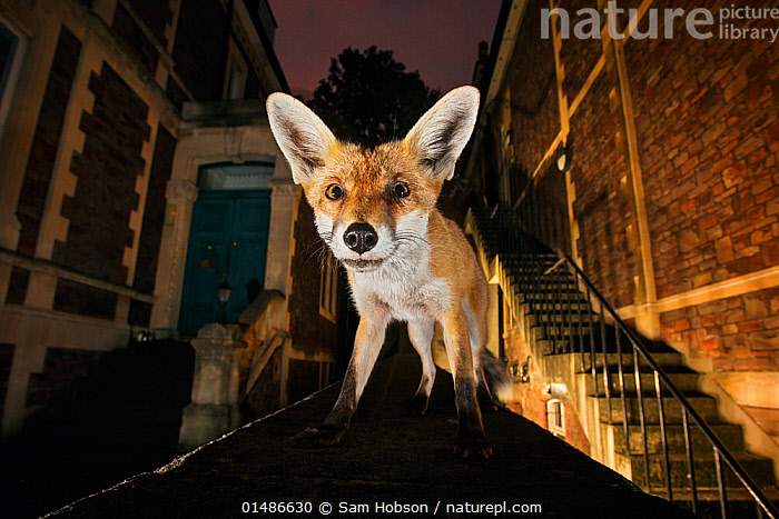 Young urban Red fox (Vulpes vulpes) standing on a wall at night. Bristol, UK, September. Nominated in the Melvita Nature Images Awards competition 2014., high1314,Animal,Vertebrate,Mammal,Carnivore,Canid,True fox,Red fox,Animalia,Animal,Wildlife,Vertebrate,Mammalia,Mammal,Carnivora,Carnivore,Canidae,Canid,Vulpes,True fox,Vulpini,Caninae,Vulpes vulpes,Red fox,Hear,Alertness,Alert,Curiosity,Cute,Adorable,Nobody,Dark,Darkness,Europe,Western Europe,UK,Great Britain,England,Bristol,Close Up,Front View,View From Front,Low Angle View,Young Animal,Juvenile,Ear,Animal Ears,Ears,City,Building,Residential Structure,House,Houses,Outdoors,Open Air,Outside,Night,Nature,Natural,Natural World,Wild,Direct Gaze,Using Senses,Ears Pricked,,urban,, Sam Hobson