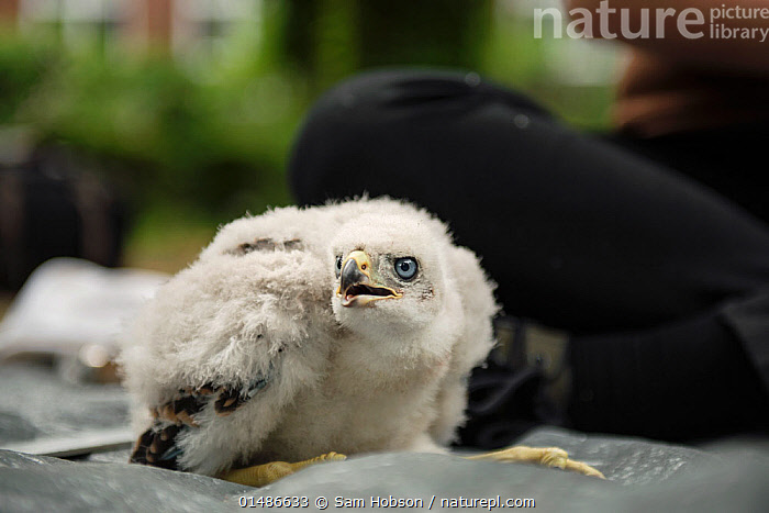 Northern goshawk (Accipiter gentilis) nestling ready to be ringed as part of urban goshawk colour ringing study. Berlin, Germany, May. Nominated in the Melvita Nature Images Awards competition 2014., high1314,Animal,Vertebrate,Bird,Birds,Bird of prey,Northern goshawk,Animalia,Animal,Wildlife,Vertebrate,Aves,Bird,Birds,Accipitriformes,Accipitridae,Accipiter,Bird of prey,Raptor,Accipiter gentilis,Northern goshawk,Goshawk,Hawk,Glance,Glances,Glancing,Look Away,Looks Away,People,Fear,Research,Researching,White,1 Person,Single,Single Person,Part Of,Europe,Western Europe,Germany,Berlin,Young Animal,Juvenile,Babies,Chick,Blue Eyes,Blue Eye,Outdoors,Open Air,Outside,Day,Science,Conservation,White colour,Eye colour,Colour Ring,Nestling, Sam Hobson