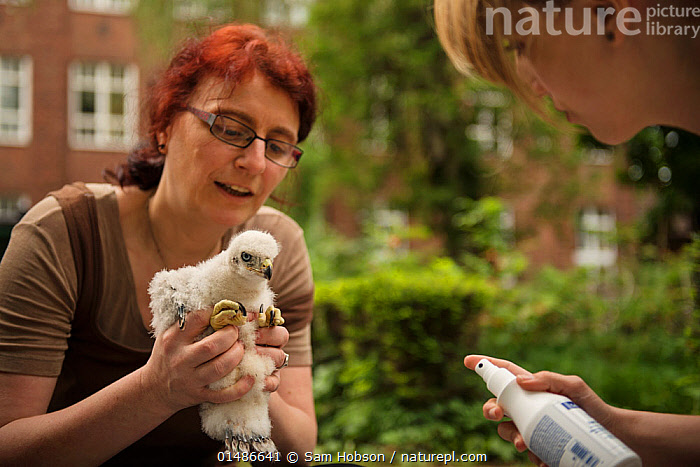 Scientists handling Northern goshawk (Accipiter gentilis) nestling, part of an urban goshawk colour ringing study. Berlin, Germany. May. Nominated in the Melvita Nature Images Awards competition 2014., high1314,Animal,Vertebrate,Bird,Birds,Bird of prey,Northern goshawk,Animalia,Animal,Wildlife,Vertebrate,Aves,Bird,Birds,Accipitriformes,Accipitridae,Accipiter,Bird of prey,Raptor,Accipiter gentilis,Northern goshawk,Goshawk,Hawk,People,Female,Woman,Only Women,Scientist,Scientists,Research,Researching,Europe,Western Europe,Germany,Berlin,Young Animal,Juvenile,Babies,Chick,City,Outdoors,Open Air,Outside,Day,Conservation,Animal Care,Handling,Colour Ring,Nestling,,urban,, Sam Hobson